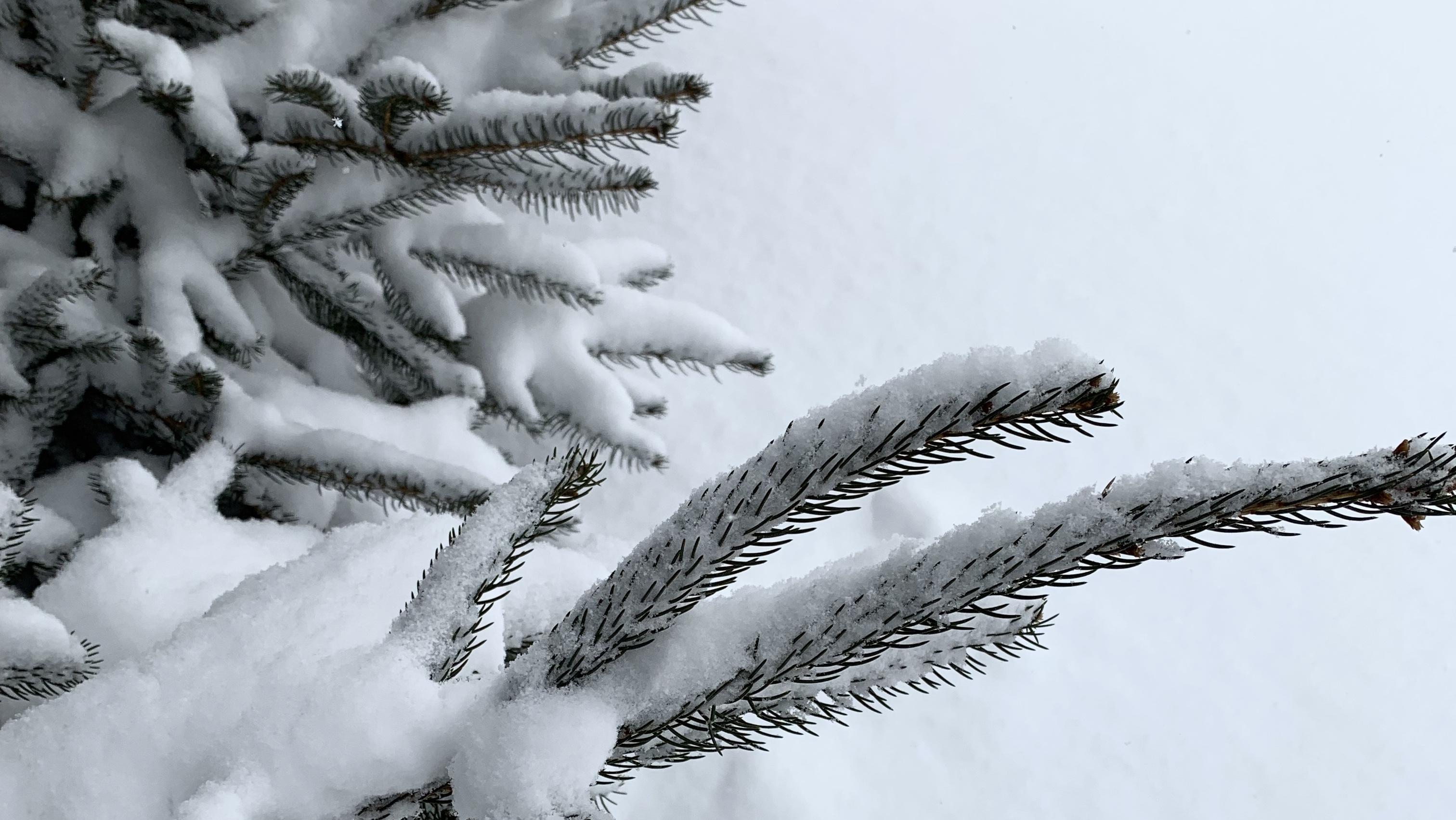 Snow on evergreen branch